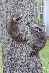 Two baby raccoons are caught slowly climbing down a tree in a suburban neighborhood in the afternoon.