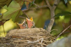 Two baby robins with mouths wide open looking to eat