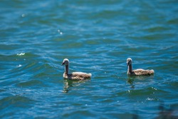 Two baby swans (flappers or cygnets) swimming in a lake. Black swan breeding season. Australian water birds.