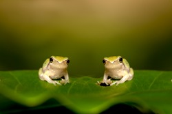 Two Baby Tree frog on the leaf (Hyla chinensis)