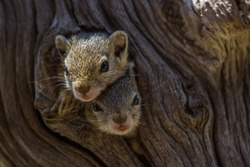 Two baby Tree Squirrels looking out their nest in a natural tree hole
