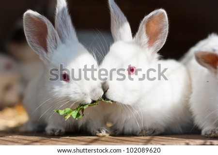 Two baby white rabbits eating a leaf together