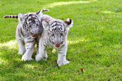 Two Baby White Tiger.