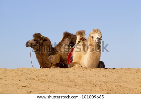 Two Bactrian camels on top of dune, Central Mongolia
