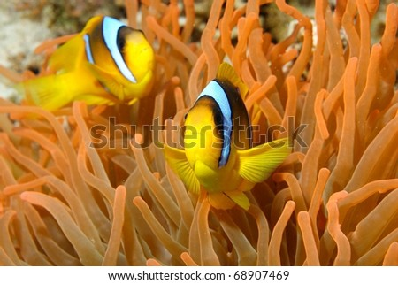Two-band anemone-fish (Amphiprion bicinctus) in Small Crack, Sham El Sheikh, Red Sea, Egypt.