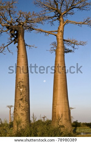 Two baobabs and full moon