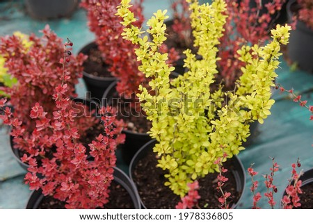 Two barberry bushes in garden center. Red and yellow berberis in greenhouse. Stock photo ©