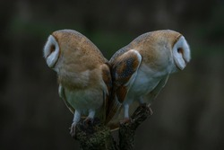 Two Barn owls (Tyto alba) sitting on a branch. Dark green background. Noord Brabant in the Netherlands. Back to back.