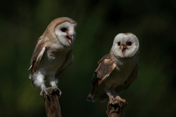 Two Barn owls (Tyto alba) sitting on a branch. Dark green background. Noord Brabant in the Netherlands.