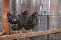 Two Barred Rock Chickens on Roost