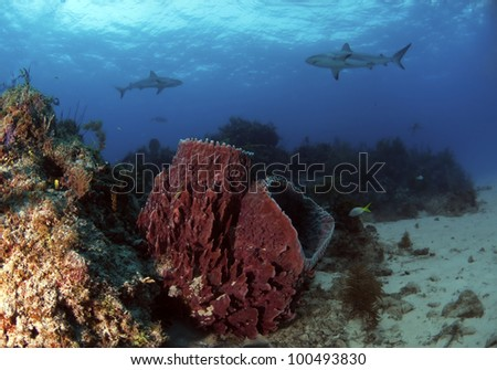 Two barrel sponges sitting on a reef with some Caribbean reef sharks swimming in the background