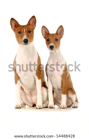 Two Basenjis on the white background
