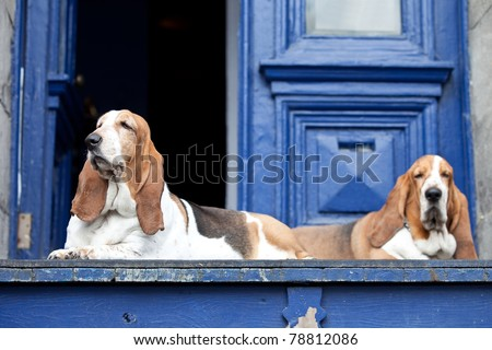 Two basset hounds taking their place at a front door