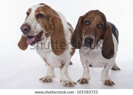 Two Bassett Hound on white background - stock photo