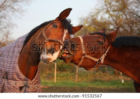 Two bay horses playing with each other