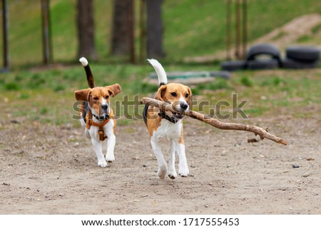 two beagle dogs play with a wooden stick and run Zdjęcia stock ©