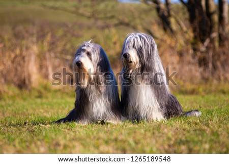 Two Bearded Collies sit side by side in a meadow and look to the right.