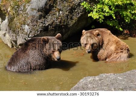 two bears in watering place taking bath