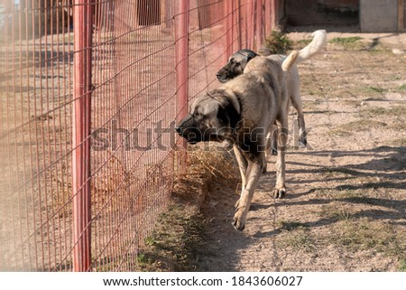 Two beautiful anatolian shepherd dog (sivas kangal kopek/kopegi) pace, walks behind cage in a dog farm im Kangal city, Sivas Turkey. Stok fotoğraf ©