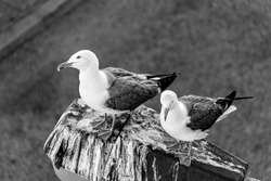 Two Beautiful and Exotic White and Black Birds Sitting On a Wood Log In Forest   Nature and Wildlife Bird Photography of Birds   Black and White Photograph   Black and White