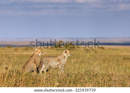 Two beautiful and young brothers of cheetahs in the African savanna look into the distance #325939739