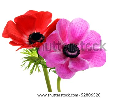 Two beautiful anemone flowers, one red and one pink, on a white background with copy space. - stock photo