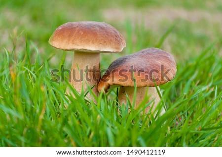 Two beautiful big edible mushroom (boletus edulis bull, borowik szlachetny, prawy, prawdziwek) grow in the polish forest. Zdjęcia stock ©