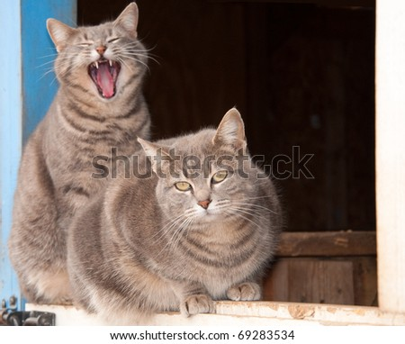 Two beautiful blue tabby cats on top of a Dutch door of a blue barn