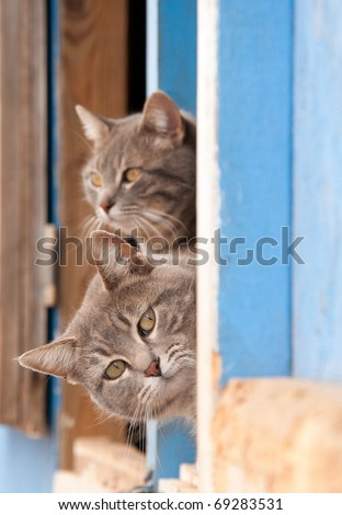 Two beautiful blue tabby cats peeking out of a barn door