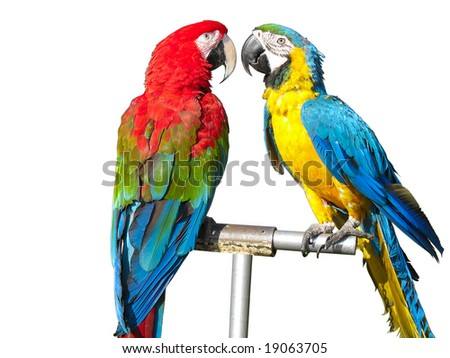 two beautiful bright colored macaws parrots isolated over white background