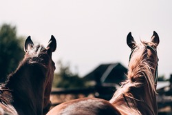 Two beautiful brown stallions close up, head view from behind. Thoroughbred horses, horse farm. Horse screensaver on the desktop.