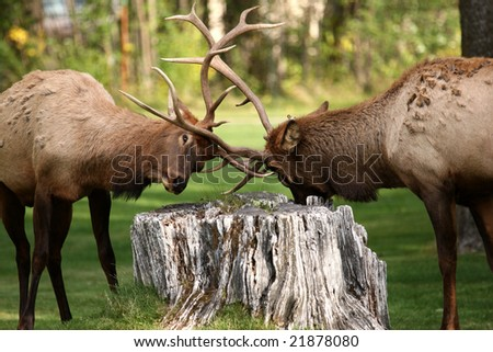 Two Beautiful Bull Elk Fighting at Mammoth Hot Springs - stock photo
