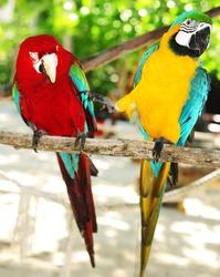 Two beautiful carribean maccaws on exotic beach at Saona island, Dominican Republic