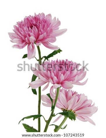 Two beautiful chrysanthemum isolated on white