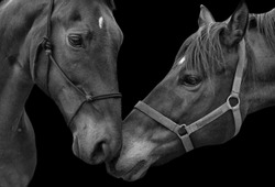 Two Beautiful Couple Horse Loving Together