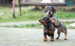 Two beautiful dachshunds, a puppy and an adult are playing in the yard. Dog portrait