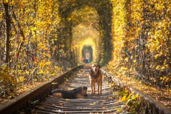 Two beautiful dogs on the railroad in tunnel of trees at sunset in autumn. Landscape with dogs, railway station, forest with colorful foliage.  Railroad in Tunnel of Love in Ukraine in fall. Animal