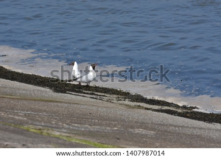 Two Beautiful Dove birds besides blue sea water. Background picture of two white birds walking on seashore water like ducks.