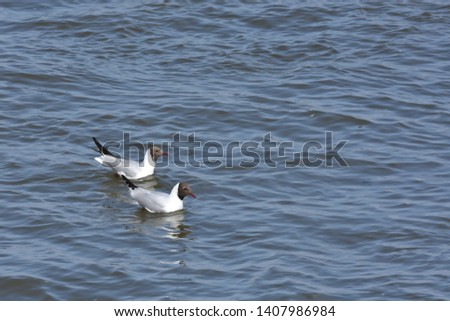 Two Beautiful Dove birds swimming on blue sea water. Background picture of two white birds on water like ducks.
