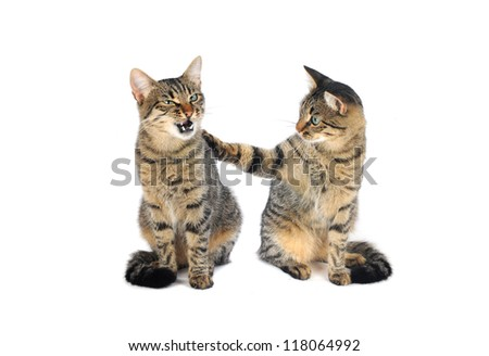 two beautiful European cat on a white background