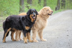 Two beautiful female dogs. They are both of German national breed named Hovawart, bred as a watchdog. The blond one is mother and the black and tan is daughter. They are posing on the forest path.