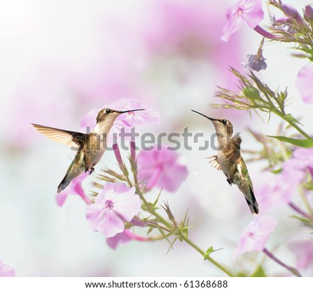 Two  beautiful female ruby throated hummingbirds in the garden in summer.