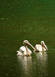 Two beautiful geese and storks are swimming on the water of a lake in Assam, India. Those are very large long legged and necked white waterbirds with long stout bills of several waterfowl species.