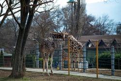 Two beautiful giraffe is huging in zoo