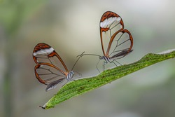 Two Beautiful Glasswing Butterflies (Greta oto) on a leaf in a summer garden. In the amazone rainforest in South America. Presious Tropical butterfly.