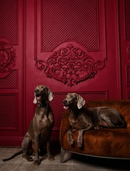 Two Beautiful grey brown Weimaraner pedigree dogs sitting in luxury red interior one dog lying on leather armchair looking at the corner