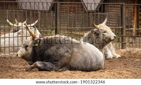Two beautiful grey bulls or ox lying on the ground. Stock fotó ©