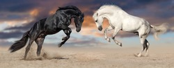 Two beautiful horse portrait in motion rearing up against sunset sky in desert dust. Black and white horses banner for website