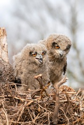 Two beautiful, juvenile European Eagle Owl (Bubo bubo) in the nest in the Netherlands. Wild bird of prey with brown feathers and large orange eyes.