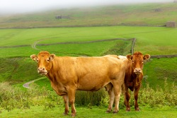 Two beautiful Limousin cows on the high fells near Keld, Swaledale in North Yorkshire.  Facing forward with green meadows, stone barns, and drystone walling.  Close up.  Horizontal.  Space for copy.